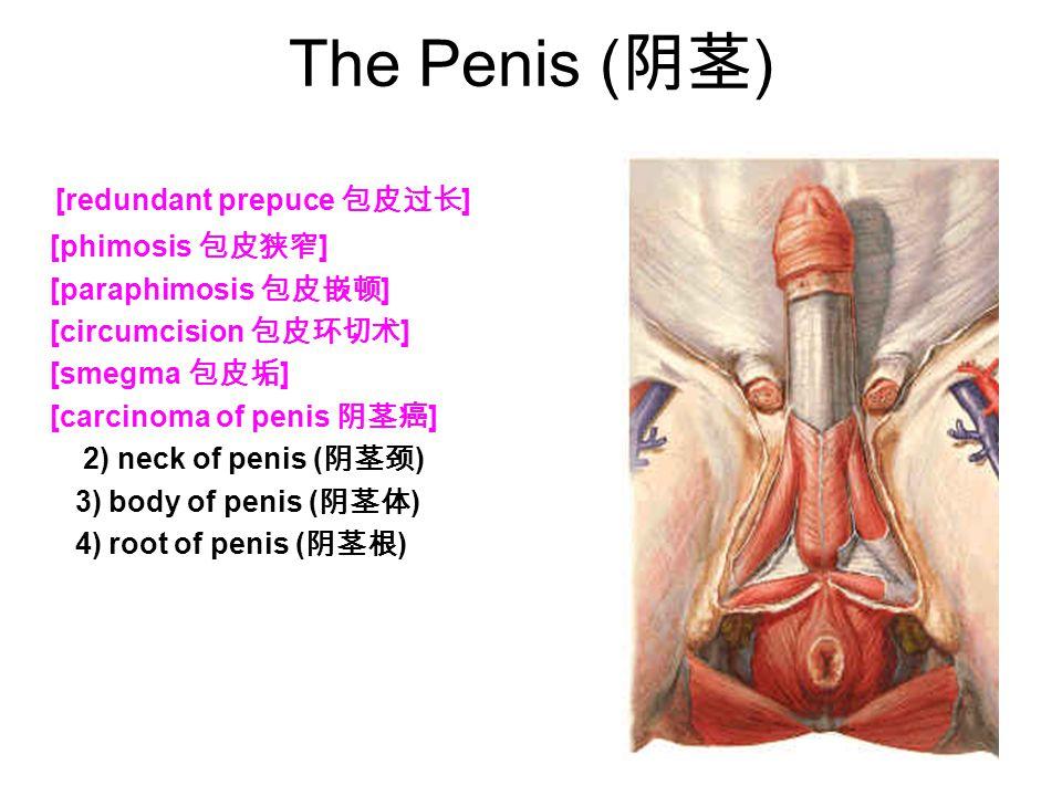 The Penis (阴茎) [redundant prepuce 包皮过长] [phimosis 包皮狭窄]